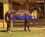 DAIQUIRI DE YMAS - Yeguada de Ymas